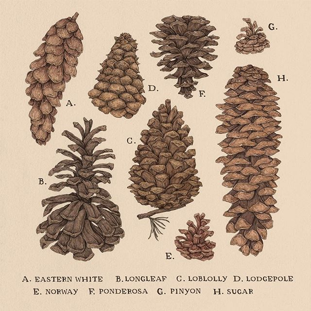 Pinecones! For the 2018 calendar I'm working on, inspired by natural history specimens and vintage educational charts.