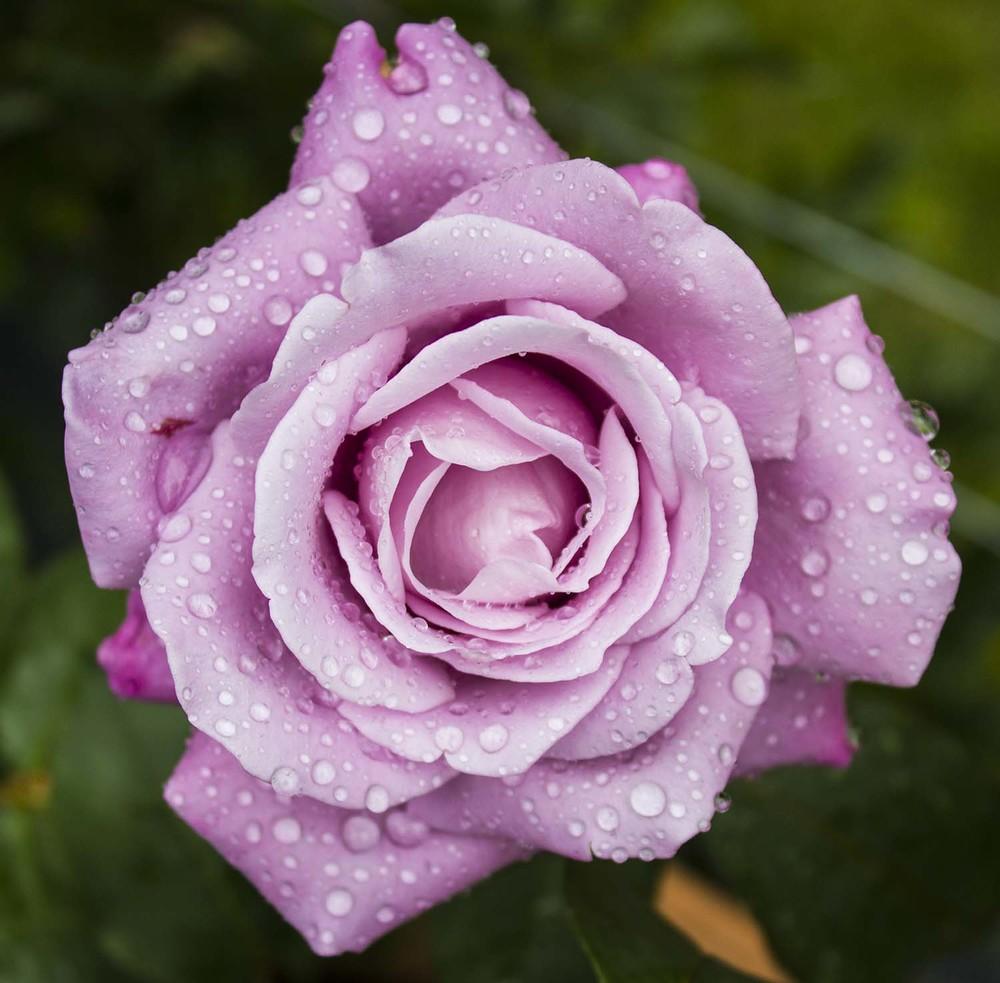 Raindropped rose
