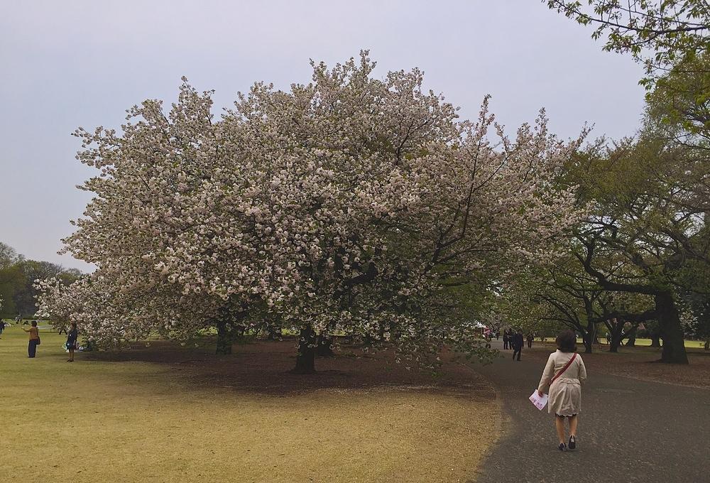 Recompensa de un entrenamientopuertas afuera.Parque Nacional Shinjuku Gyoen. Tokyo, Japón - Abril 2015