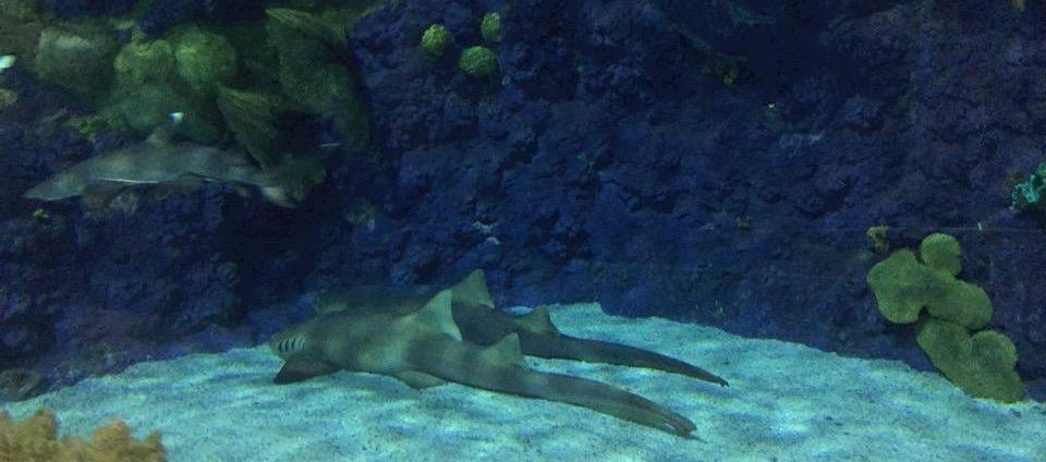 Tiburones echados. San Diego, CA, EEUU.Febrero 2016