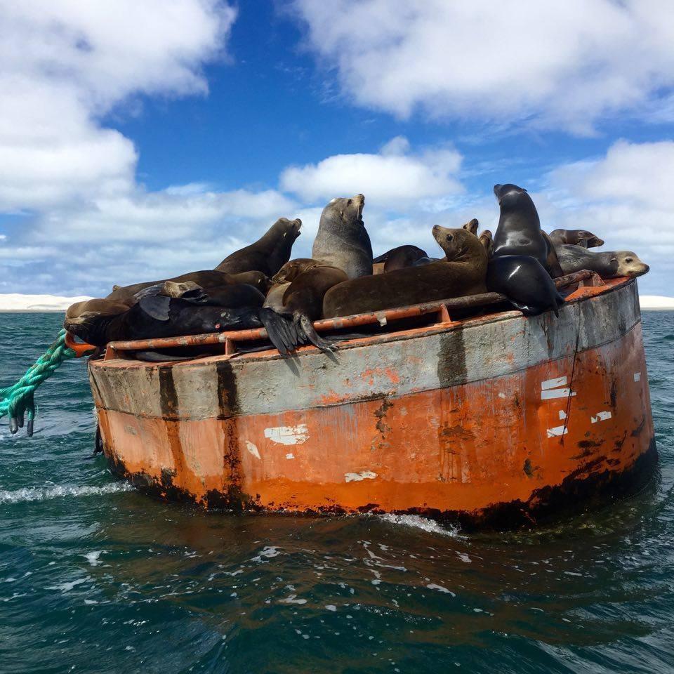 Tertulia de lobos marinos. Guerrero Negro, México - Marzo 2016