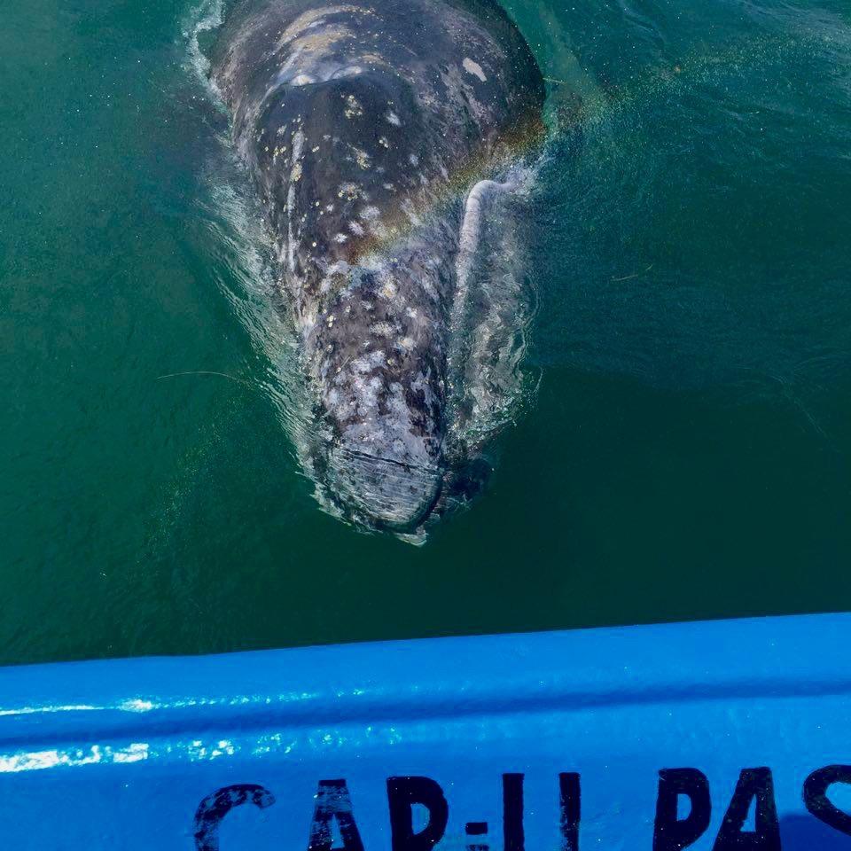Arcoiris con ballena gris. Guerrero Negro, México - Marzo 2016