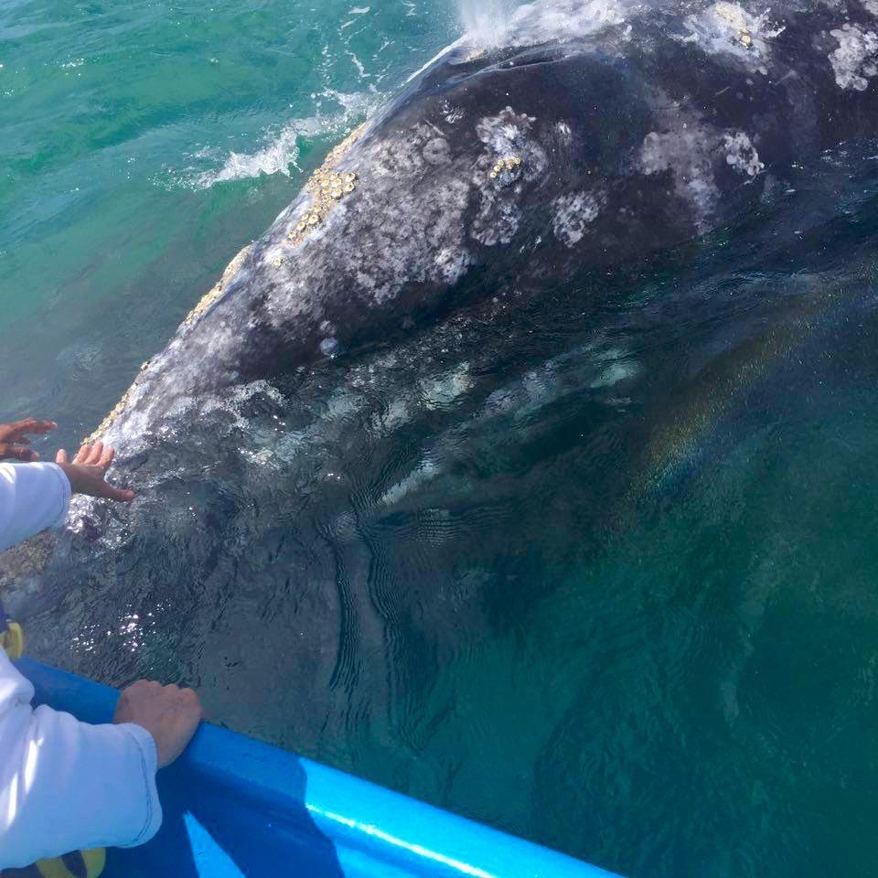 Aunque tiene callos, la ballena tiene la piel suave, como de goma. Guerrero Negro, México - Marzo 2016