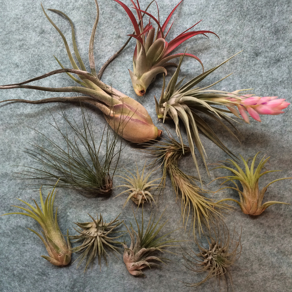 Air plants for drawing research #loveofpattern www.loveofpattern.com