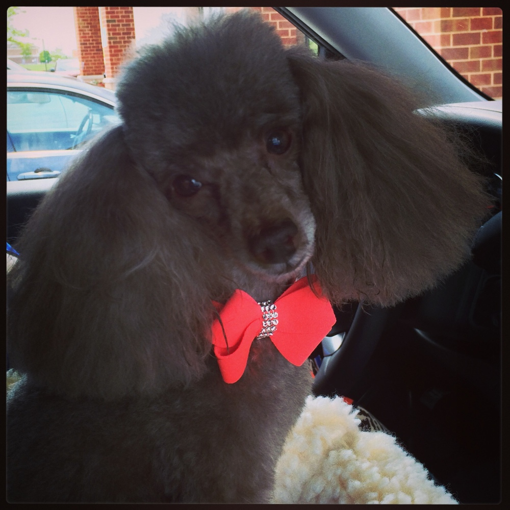 Coco the toy poodle #loveofpattern