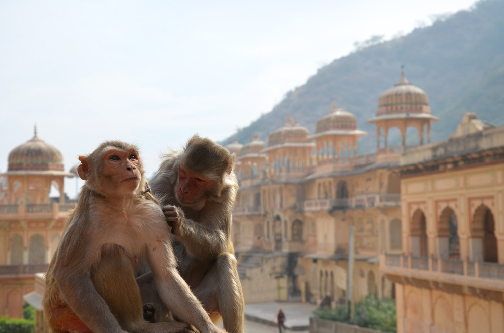 Monkeys at the Galta Temple