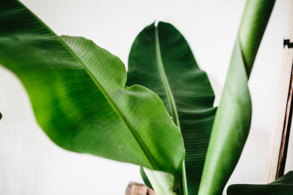 zimmerpflanze des monats bananenpflanze herz und blut. Black Bedroom Furniture Sets. Home Design Ideas