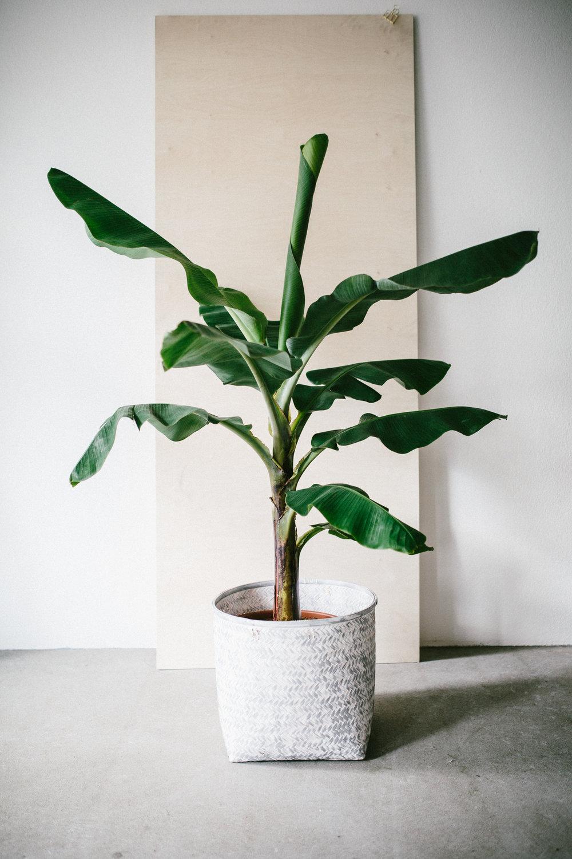 Zimmerpflanze des Monats: Bananenpflanze