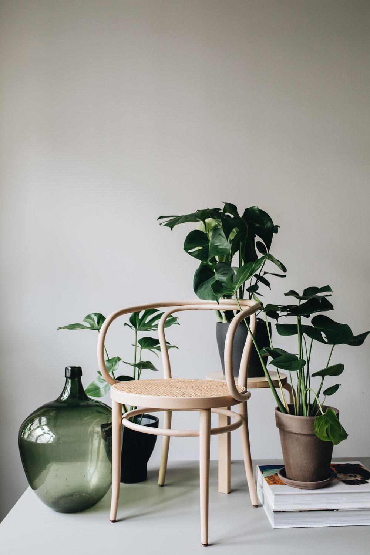 Zimmerpflanzen des Monats 2019: Juli Monstera Herz&Blut