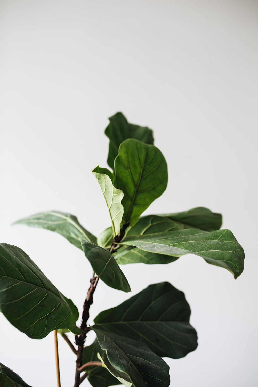 Zimmerpflanzen des Monats 2019: Ficus Herz&Blut