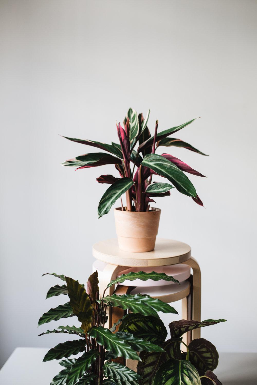 Zimmerpflanzen des Monats 2019 November Calathea Herz&Blut