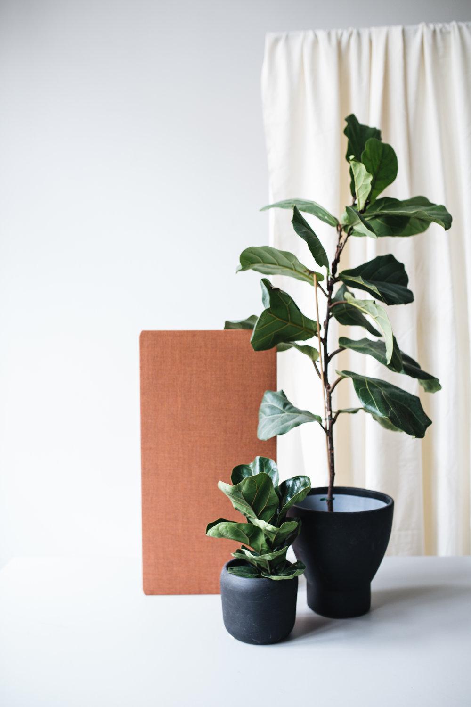 Großblättriger Ficus - September -1.jpg