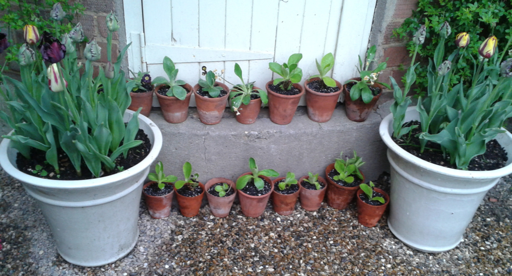 My own humble Auricula Theatre, 20th April 2014