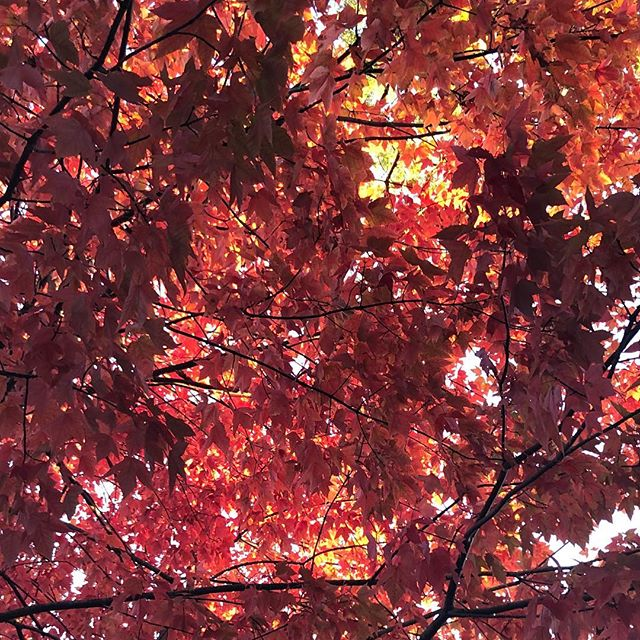 New York reds #fall #leaves #queens 🍁🍁