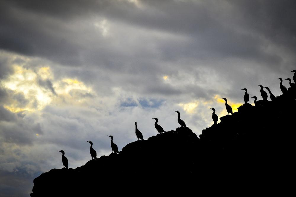 cormorants2-0001.jpg