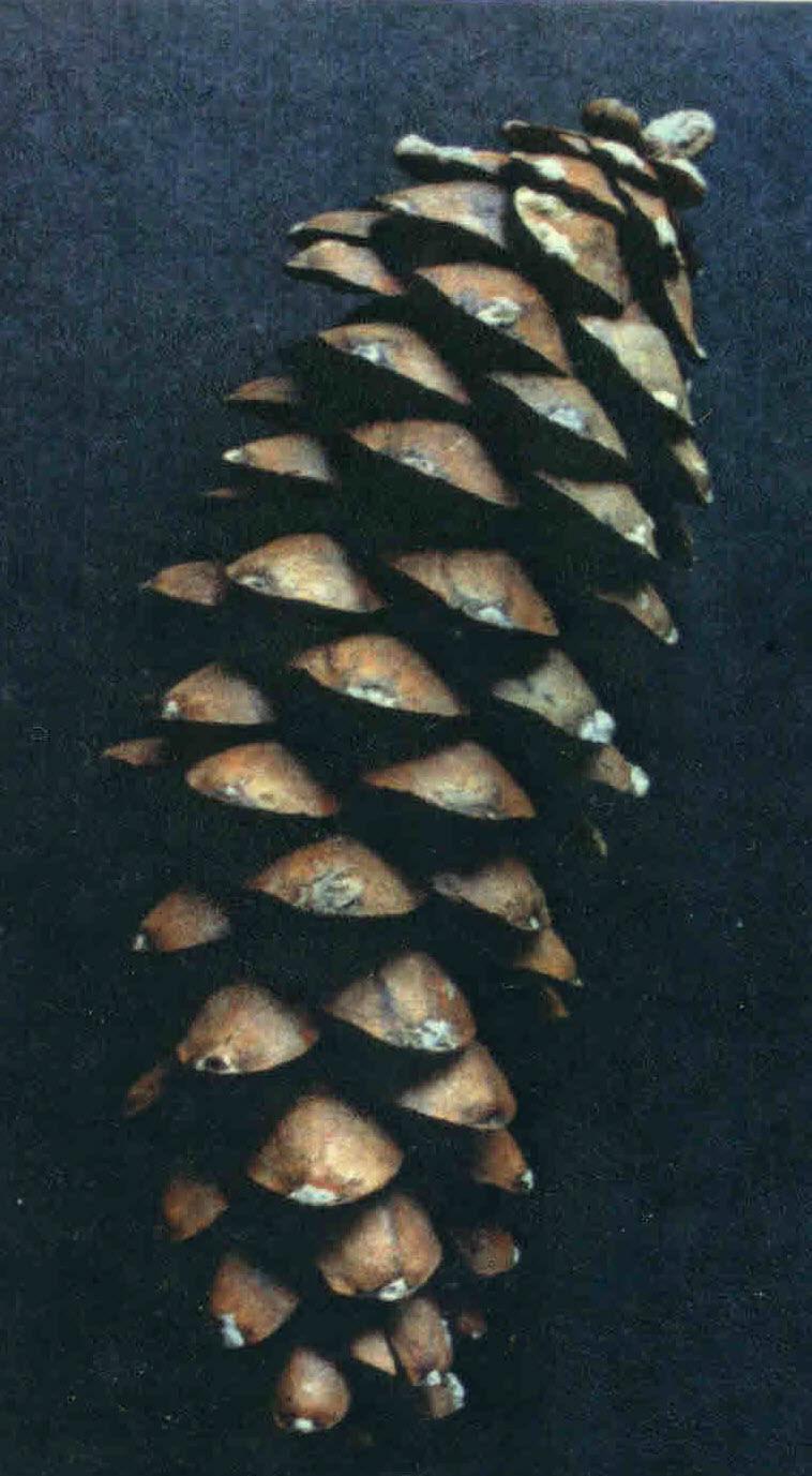 Eastern-White-Pine-Cone.jpg