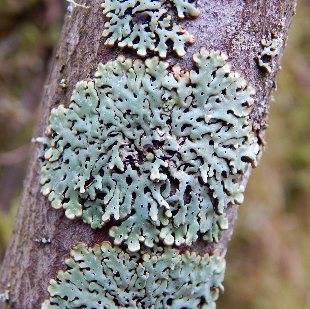 More from www.nwlichens.org. I've reached out to them in hopes we can be friends.