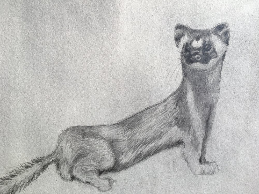 California Long Tailed Weasel, 2015. 9x12 inches. Pencil on acid free Strathmore 400 drawing paper.