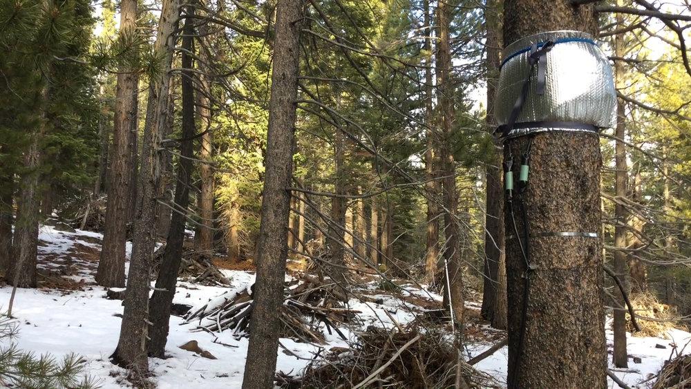 Data collection belt puffed, Sagehen Experimental Forest, 2018.