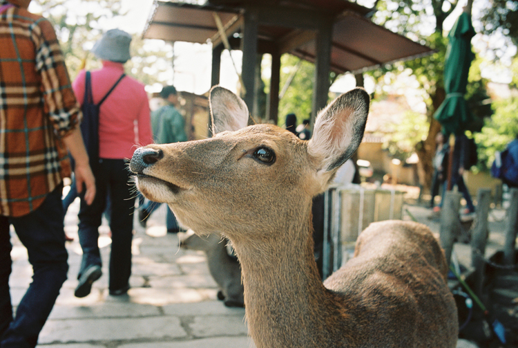 A cheeky deer, Nara
