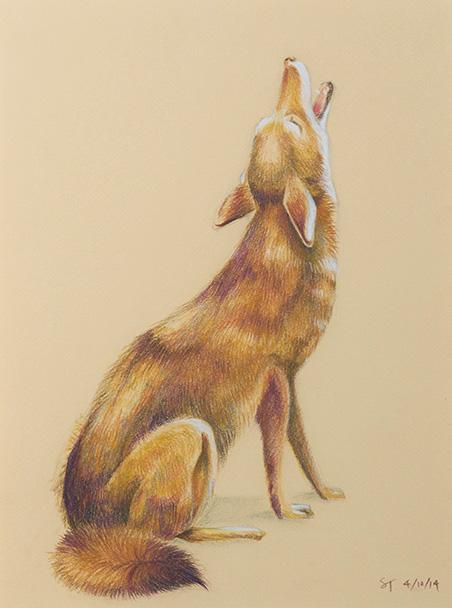 Coyote_sakitanaka.jpg