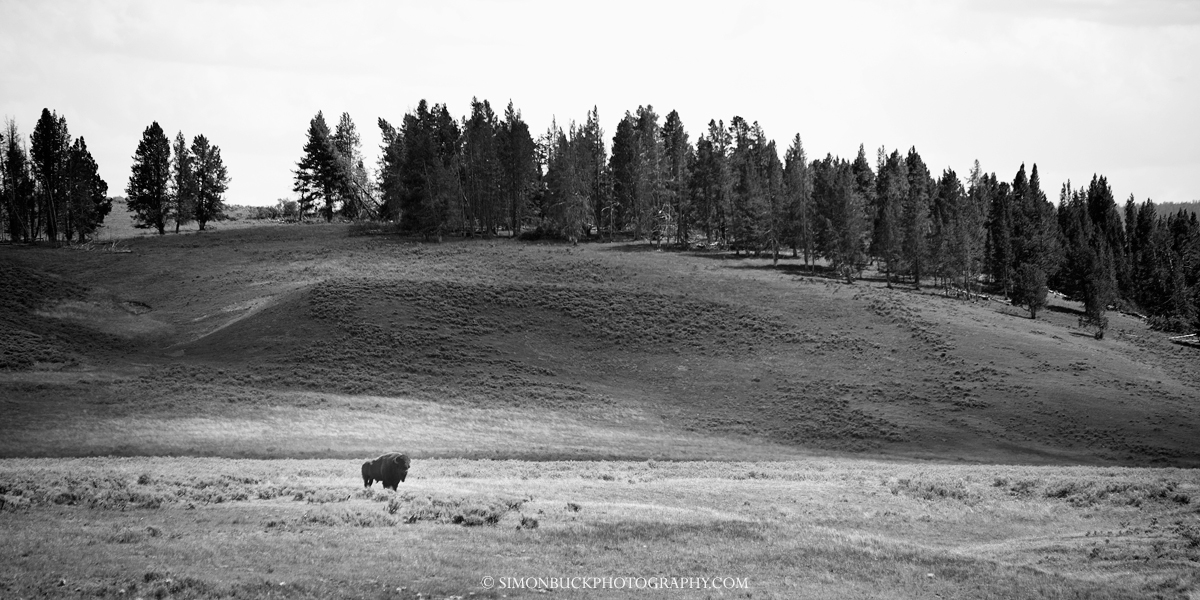 Bison, Yellowstone, Park, Landscape, photograph
