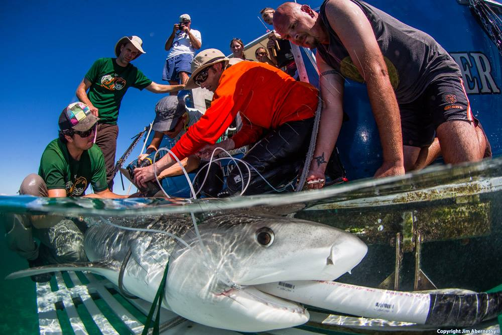 A female tiger shark rests on the submerged platform with a water pump flushing oxygenated ocean water over its gills as the team attaches a satellite tag. Image by Jim Abernethy.