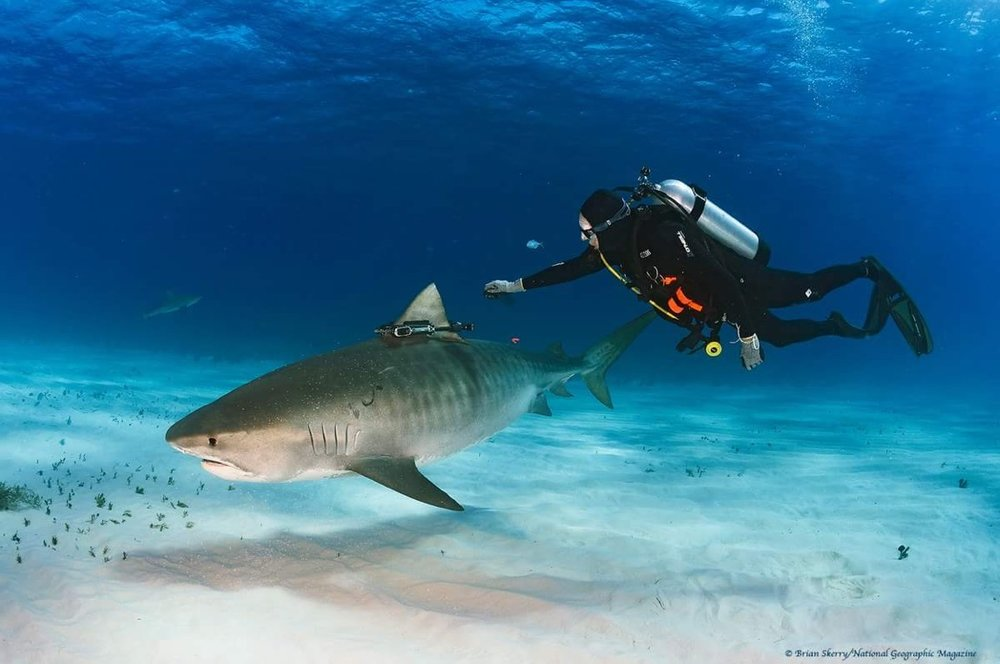 Neil Hammerschlag, Director of SRC, deploying a Nat Geo Crittercam and acoustic tag on a free swimming tiger. Image by Brian Skerry
