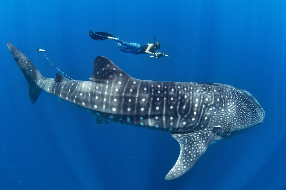 Marine Megafauna Foundation's Claire Paris takes a photo ID of a satellite tagged whale shark. Research into the lives of these gentle giants can help us to manage their populations and keep these magnificent fish in the ocean where they belong.  Photo by Simon Pierce of the Marine Megafauna Foundation.