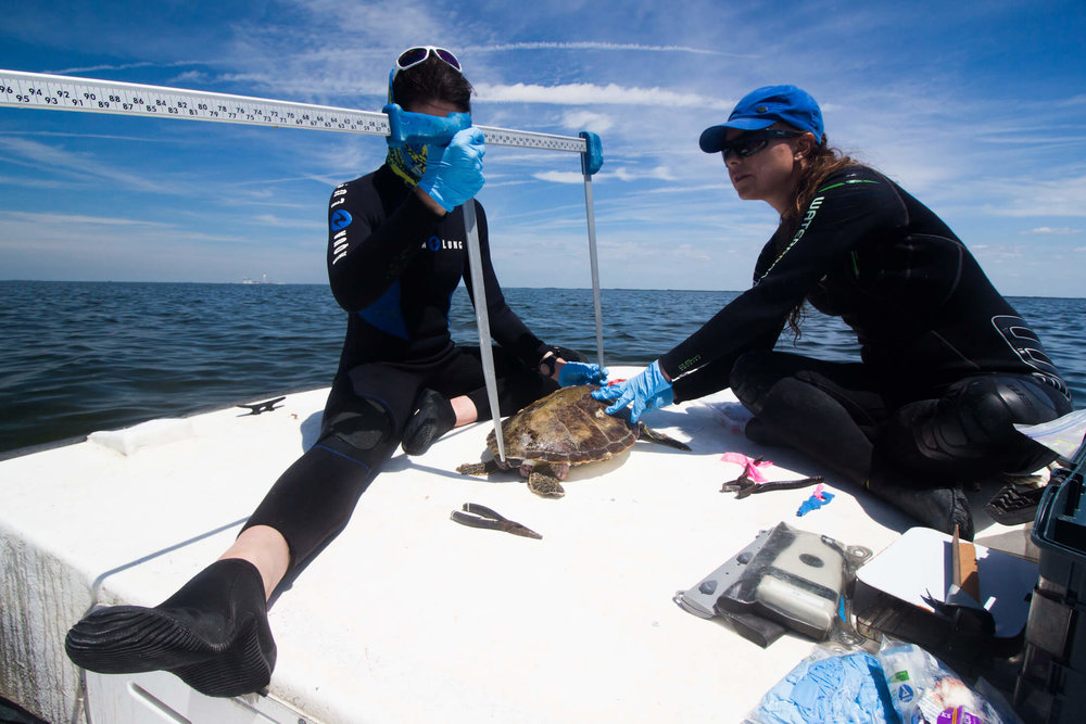 Measuring a green turtle in Crystal River. Photo by Matt Ware.