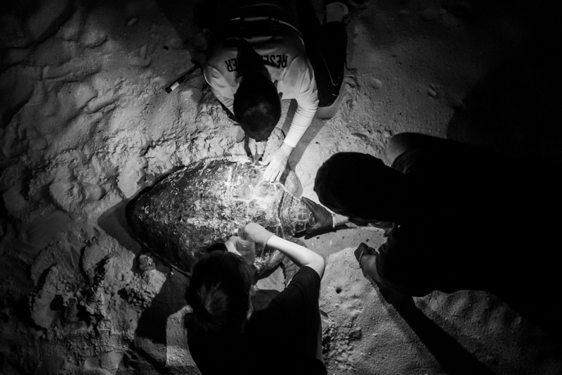 Collecting samples from a female loggerhead turtle in St George Island. Photo by Matt Ware