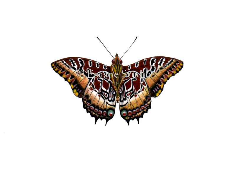 Charaxes pollux,NickMayer.jpg