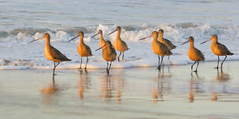 chock-marbled-godwits.jpg