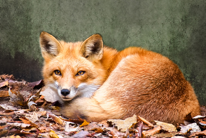 chock-red-fox.jpg