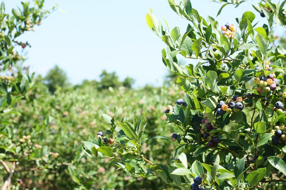Blueberry Picking along the Gulf Coast: Blue Basket Farms, Milton, Florida