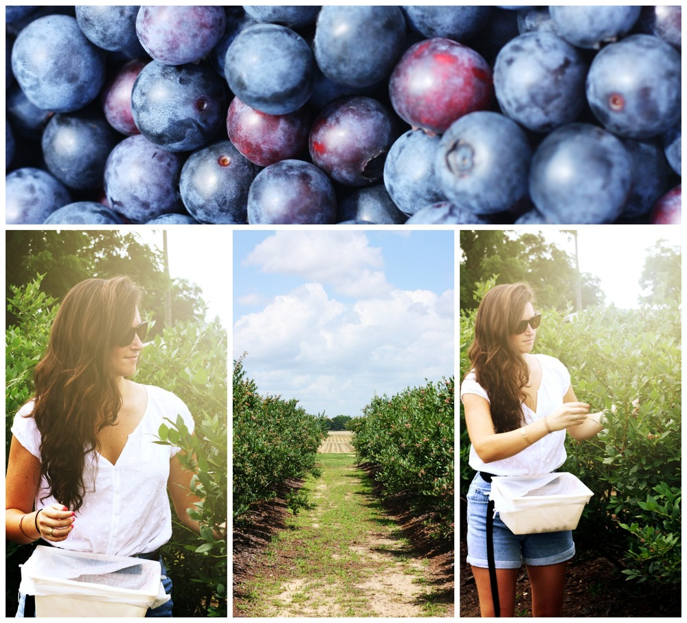 Blueberry Picking at Blue Basket Farms, Milton, Fl : Things to do around Pensacola and the Gulf Coast
