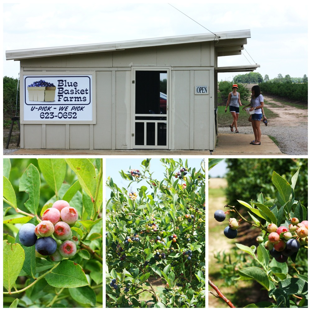 Blueberry Picking at Blue Basket Farms, Milton, Florida : Things to do on the Gulf Coast