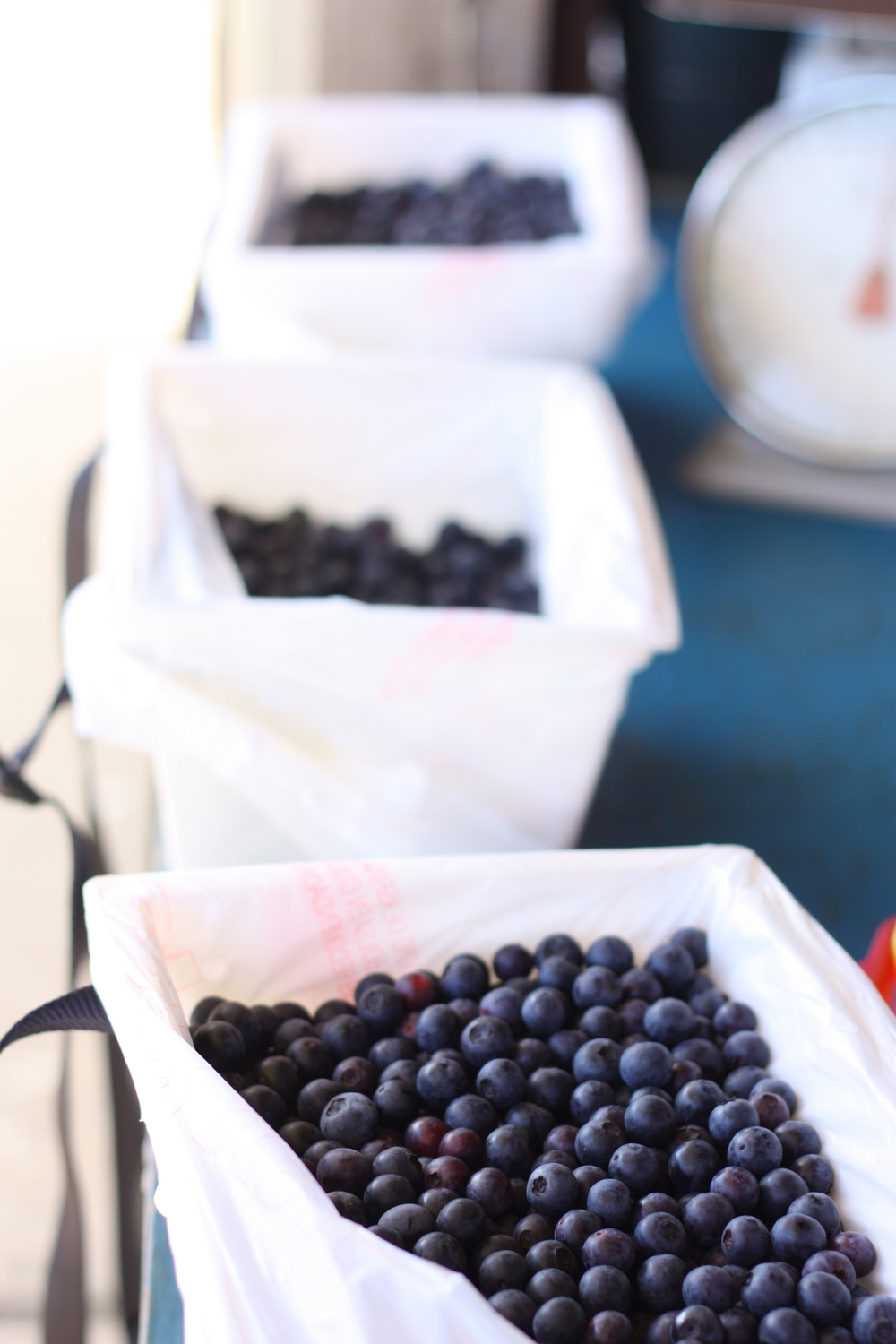 Blueberry Picking in the Pensacola Area