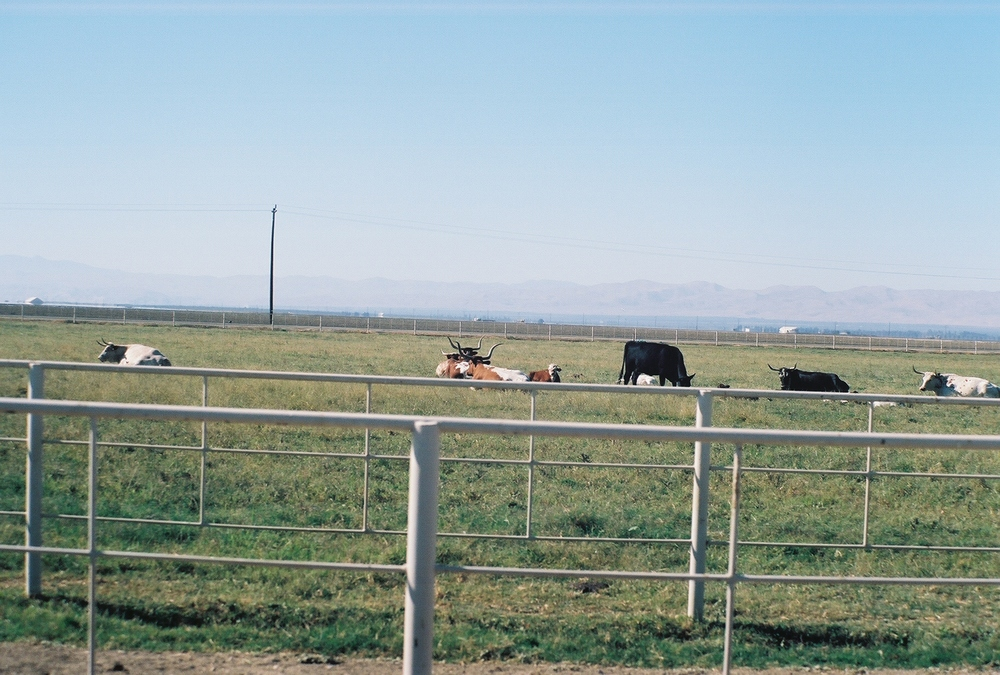 Long Horn Cows in the San Joaquin Valley