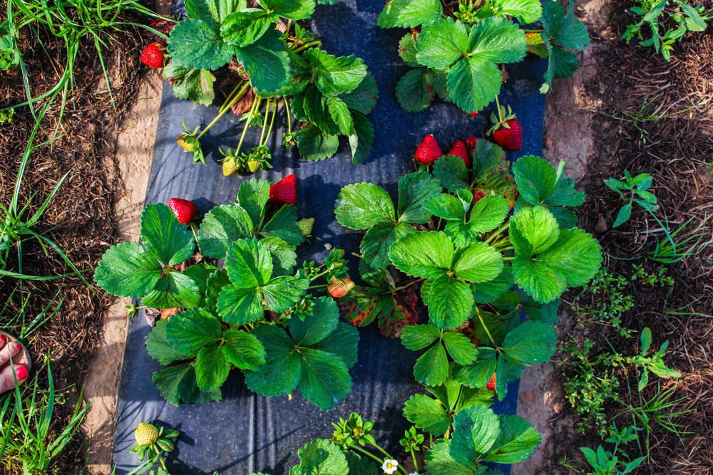 Strawberry Picking in Pensacola, Florida | The Gallivant