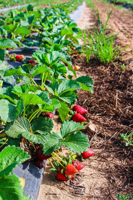 Strawberry Picking in Pensacola, Florida