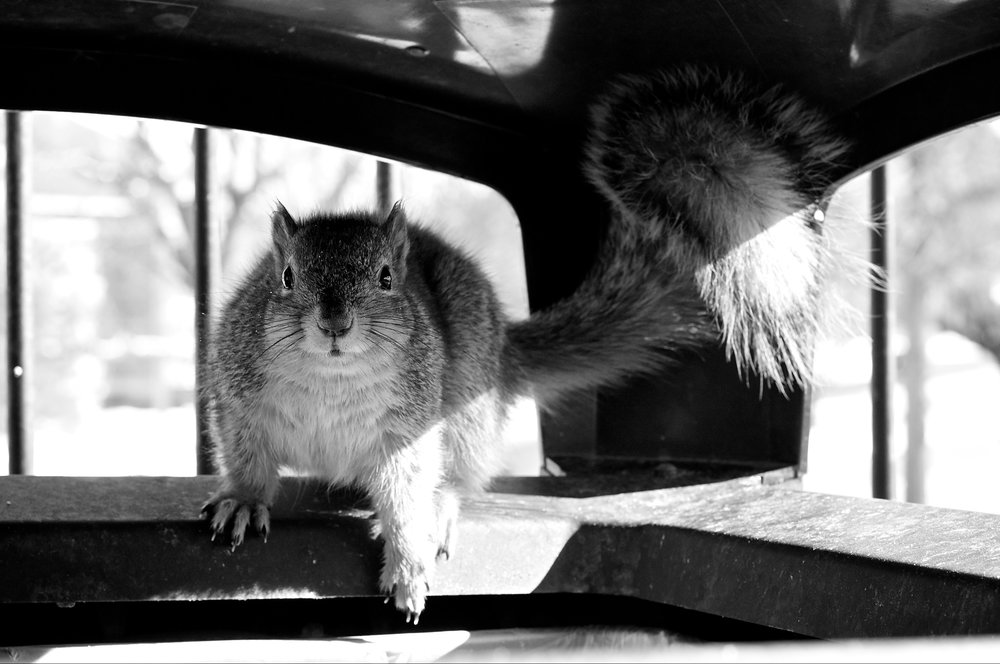 Squirrel. Cornell College. Mount Vernon, Iowa. January 2012. © William D. Walker