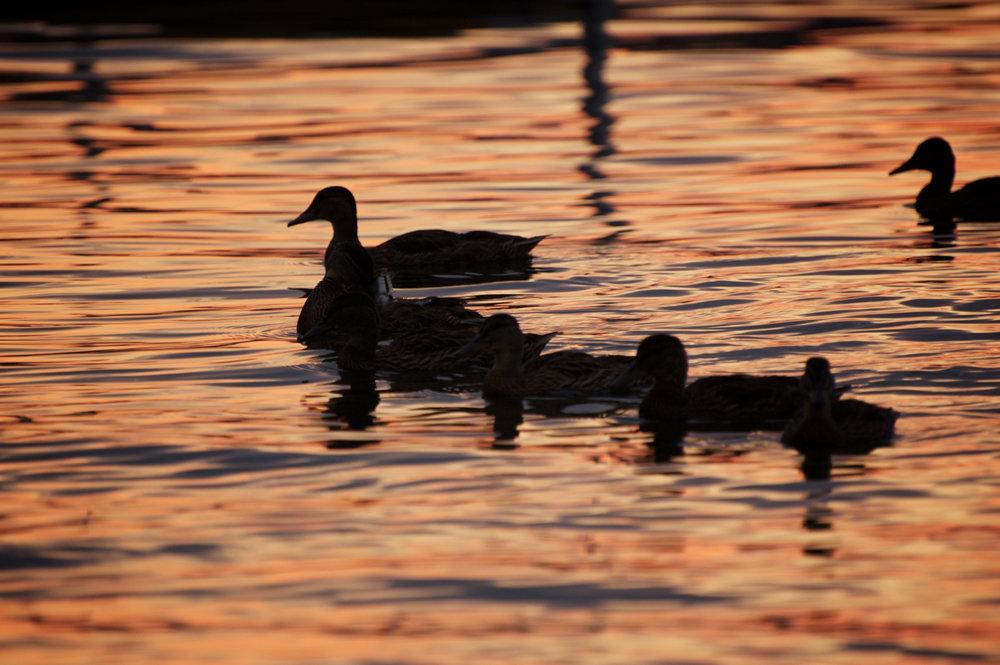 Evening Mallards. Memorial Union. Madison, Wisconsin. July 2014. © William D. Walker