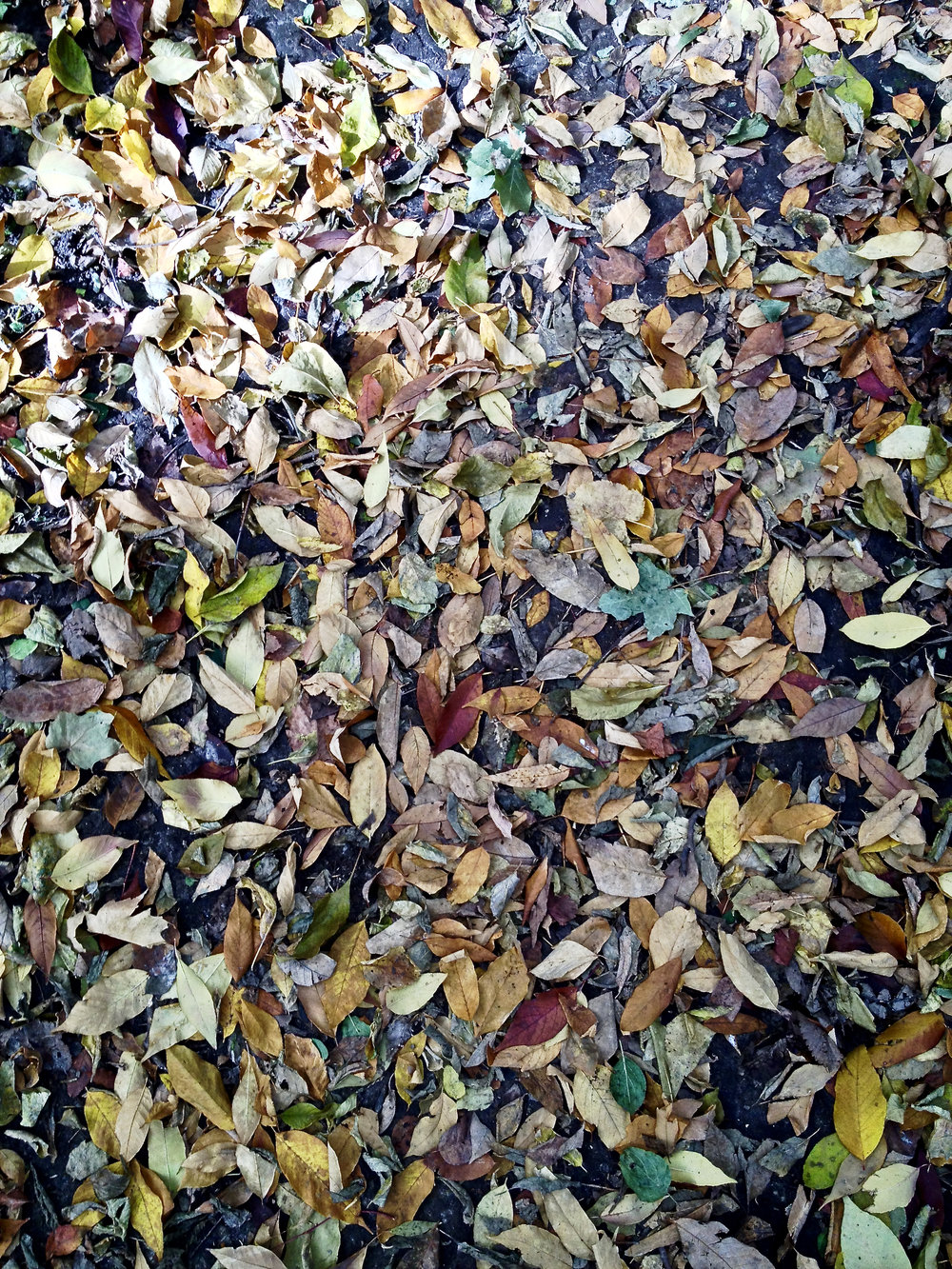 Carpet of Leaves. Picnic Point. Madison, Wisconsin. October 2014. © William D. Walker