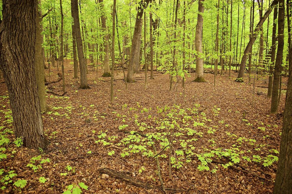 Maples. University of Wisconsin Arboretum. Madison, Wisconsin. April 2012. © William D. Walker