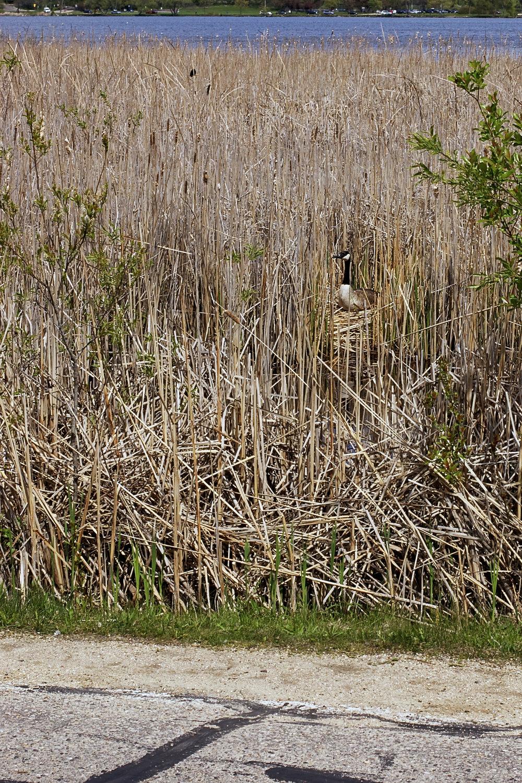 Vigilance. Lake Wingra. Madison, Wisconsin. April 2012. © William D. Walker