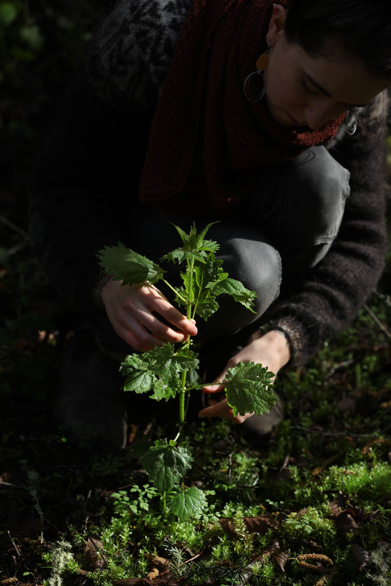 Nettle is ruled by Mars! Mars rules Aries and in classical astrology also ruled Scorpio. You can remember this as the stinging qualities of Nettle, how nettle is one of the first plants to push up at the start of spring.