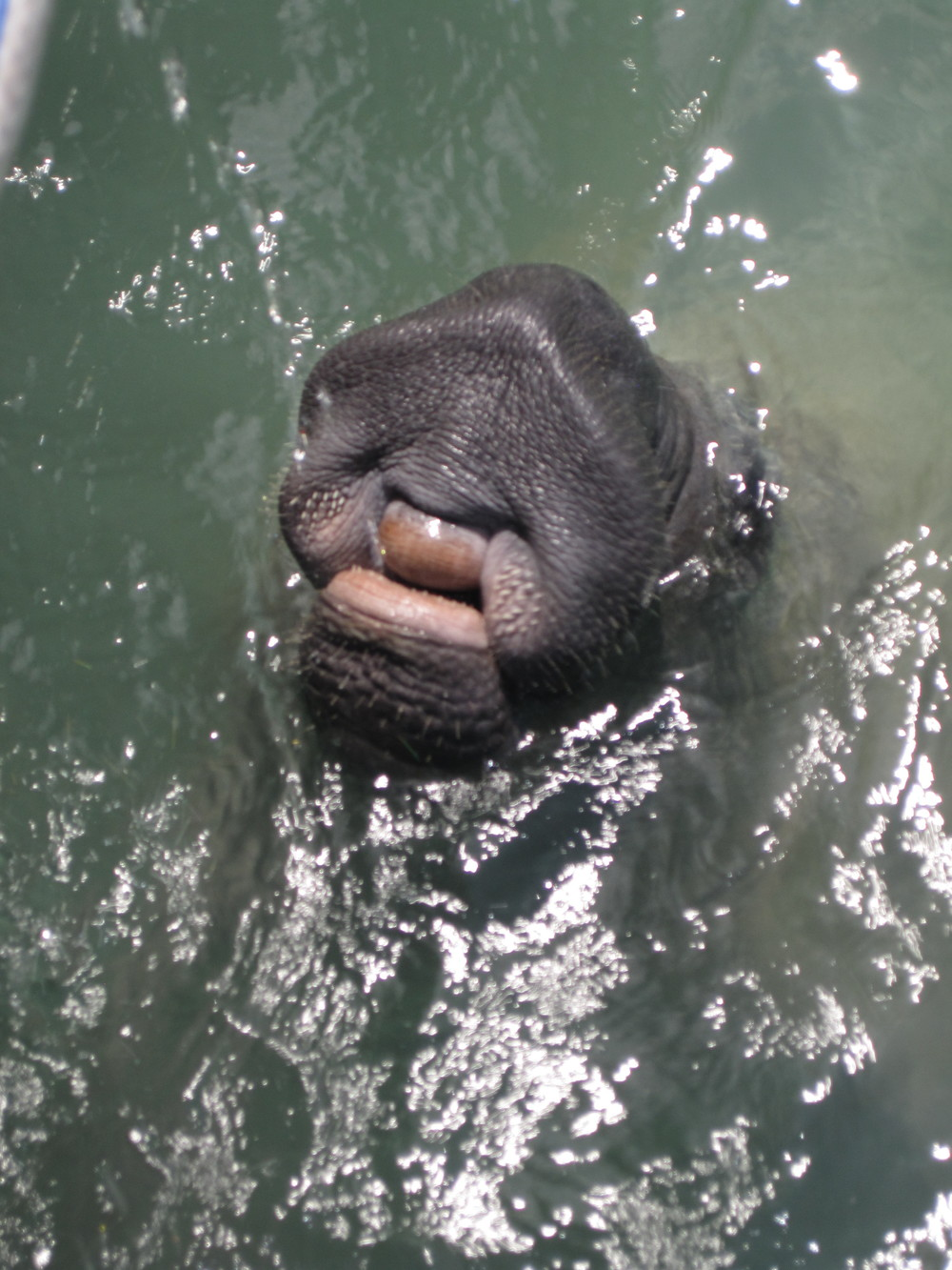 Manatee asking for fresh water from the dock hose