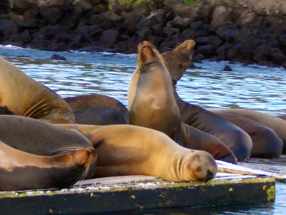 Sea lions lounge in a flotilla just off Coconut Woman's port bow in San Cristobal.