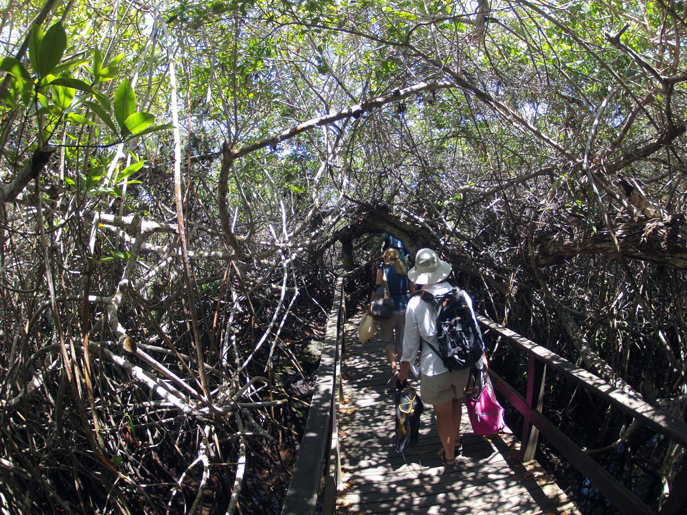 mangrove bridge to penguin platform.jpg